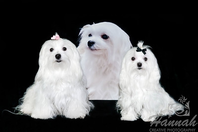 Two Maltese Posing in front of a Picture of their Sister