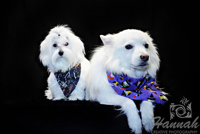 Close-up of a female Maltese named Peaches and an American Eskimo dog named Chabby wearing their Halloween bandanas  © Copyright Hannah Pastrana Prieto