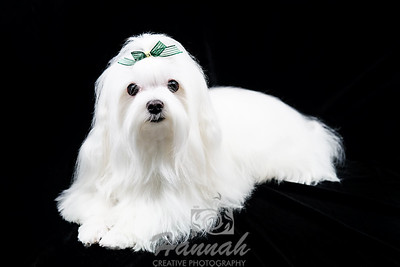 Portrait of a 1 year and 11-Months Old Maltese named Moggy