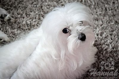 Close-up of a Maltese named Peaches   © Copyright Hannah Pastrana Prieto
