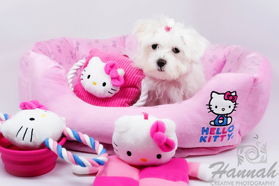 Close-up of a Maltese named Peaches with her Hello Kitty toys  © Copyright Hannah Pastrana Prieto