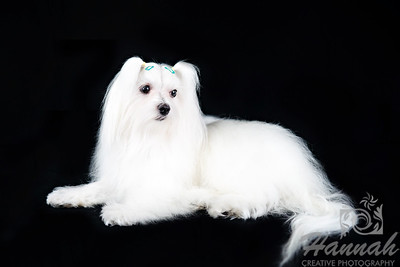 Portrait of a 2-Year Old Maltese named Speedy
