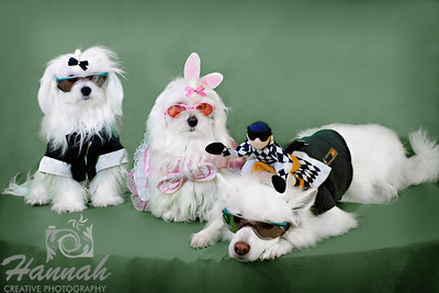 A Pair of Maltese and an American Eskimo in Costume