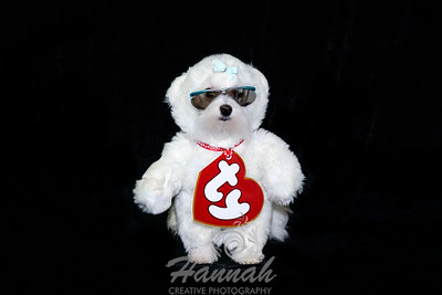 A Maltese Wearing A Beanie Babies Costume for Halloween