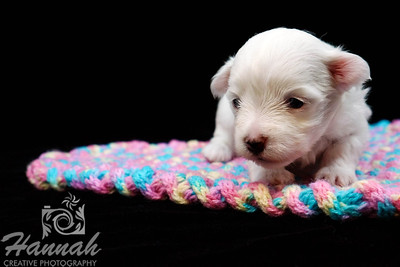 3-Weeks Old Maltese