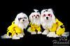 Maltese Pups Wearing Their Cool Pokemon Costume