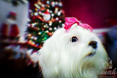 Close-up of a Maltese named Peaches taken during Christmastime. ..... taken with the Lensbaby Composer Pro.  © Copyright Hannah Pastrana Prieto