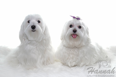 Portrait of a Mother and Daughter Maltese named Peaches and Pantry