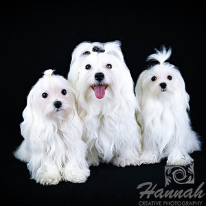 1-Year Old Maltese Pups