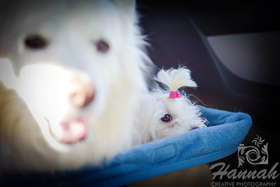 A Maltese named Peaches sitting on a car seat beside an American Eskimo dog  © Copyright Hannah Pastrana Prieto