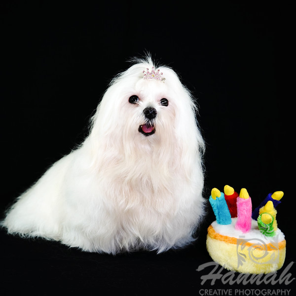 Peaches, a Maltese on Her Birthday Who Just Turned 3