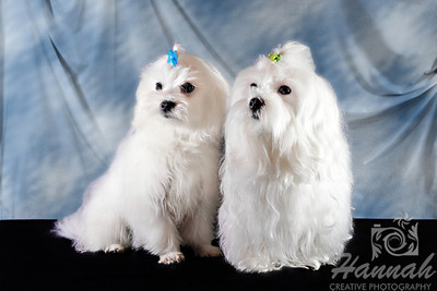 Close-up of a pair of Maltese   © Copyright Hannah Pastrana Prieto
