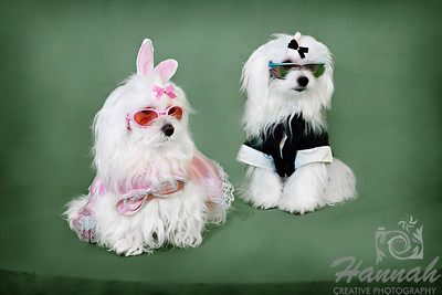 A Pair of Maltese in Costume