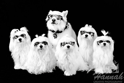 """Family of 5 Maltese and an American Eskimo"""
