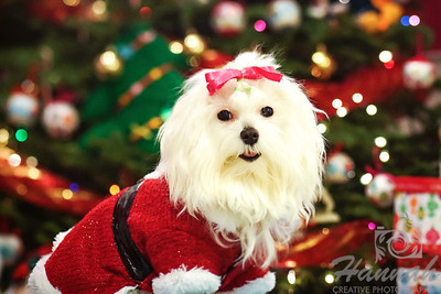 Close-up of a Maltese named Peaches shot during Christmastime wearing a Santa Claus costume. ..... taken with the Lensbaby Composer Pro.  © Copyright Hannah Pastrana Prieto