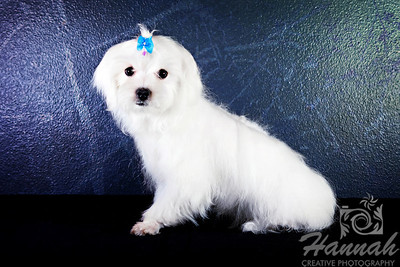 Close-up of a male Maltese named Speedy   © Copyright Hannah Pastrana Prieto