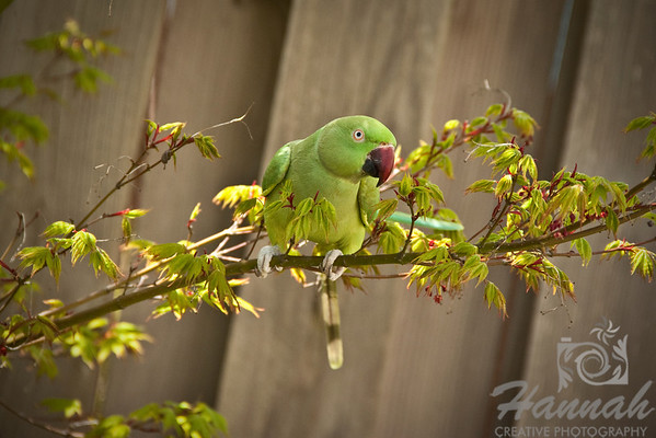 My pet Cusco, an Indian Ringneck Parakeet hanging on a tree branch at the garden.  © Copyright Hannah Pastrana Prieto