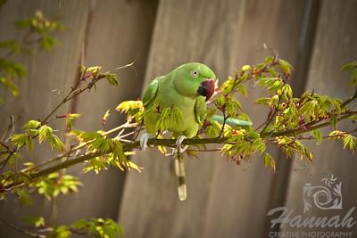 My pet Cusco, an Indian Ringneck Parakeet hanging on a tree branch at the garden.  © Copyright Hannah Pastrana Prieto