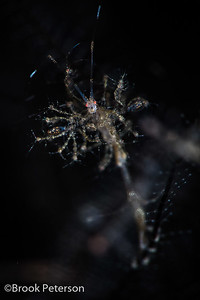 Skeleton Shrimp with Babies