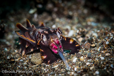 Feeding Flamboyant Cuttlefish