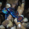 Mating Mandarin Fish with eggs