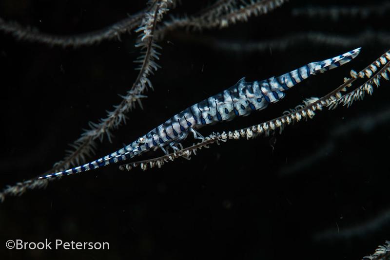 Broken-Back Shrimp