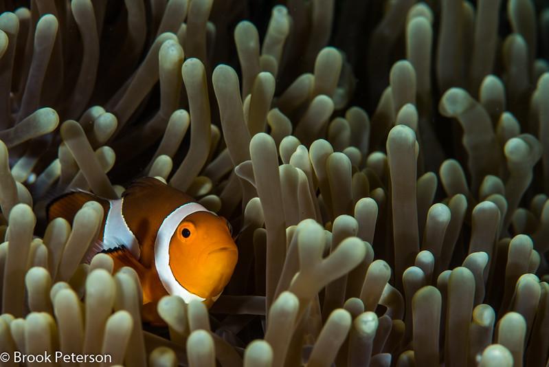 Clownfish at Home