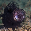 Hairy Frogfish Yawn