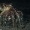 Octopus carrying a jar