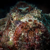 Scorpion Fish Feeding
