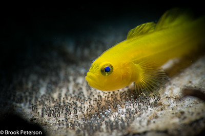 Lemon Goby Brooding Eggs