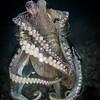Octopus in a Jar
