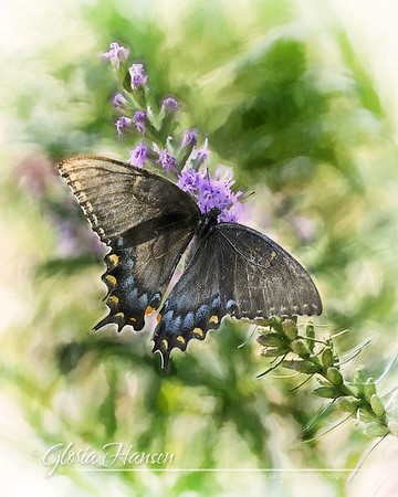 Butterfly-IMG_1698-16x12