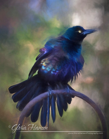grackle_GLO3794-painting2