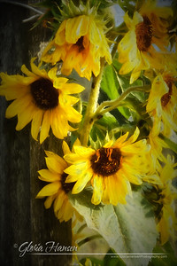 Sunflowers_DSC3631