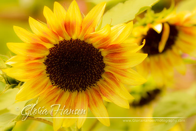 Sunflowers_DSC6234