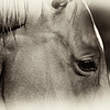"""<center><em><h2>""""SEPIA STUD""""</h2></em></center> <em><center>view larger for best detail</center></em> I stopped at the horse farm around the corner from my house today because it's a favorite place of mine to visit & shoot. Most of the horses know me very well from visiting there for the last 10 years. It's loaded with male studs and is a very peaceful place for me to gather my thoughts and enjoy the wild life. No matter where I am on the farm property fence when they hear the camera clicking they all come running over to me <em>(I've been know to bear gifts -'bribes' of apple slices or sugar cubes LOL)</em>  I've photographed this guy for the last 3 years or so <em>(I call him 'Big Brown')</em> and this time I managed to get a nice side view of him just a few feet away. The original image was great in color but I wanted to do something special so I did a creative sepia conversion and hoped for good results, I hope you all like it.   <em>PS: To prove that even professionals make mistakes DAILY I just wanted to let you know that I screwed up this entire shoot, I shot all my images at ISO 1000 during a Blazing Sun lit day because I forgot to change my setting from last nights work LOL I should have realized when it was giving me a SS of 1/1600 - 1/2000 every image in AP mode that something was wrong but I didn't realize it till I started looking at the images in Nikon ViewerNX after transfering to the PC ;) Not a huge mistake because I was in AP but had I been in SP it would have provided a boat load of unnessesary noise and a lot of work to remove it from each image.</em>  <em><h3>Image Specs:</h3></em> Lens: Nikkor 18-200mm @ 200mm EX: 1/1600 AP: f/5.6 ISO: 1000 (yes 1000 - opps) WB: Auto  <span style=""""color:red"""">""""WORK FLOW""""</span> <span style=""""color:yellow"""">Image was taken through several steps of work flow starting off in CaptureNX for some minor selective area noise reduction. Then into CS3 for my normal Sharpening routine and then into NIK 'SILVER EFX PRO' <em>("""