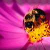 """<center><em><h2>""""I Love My Job""""</h2></em></center> This was an interesting shot for me, more of a great accident or event I should say. While I was outside shooting some wild flowers I have around my mail box I was hand holding with my Tamron 90mm macro on this flower & waiting for the wind to stop blowing. Just as I started cranking off a few shots this bumble bee landed right in the middle of the flower I was shooting to do his job and I was amazed that I was able to capture him pretty much in focus without moving a muscle LOL.  PP consists of a crop, some unsharp mask and the custom vignette I made to flow with the shape of the flower to give it some depth & to draw your attention to the bee and all the pollen he's covered in especially that huge blob of it towards his back leg.  Have a great day everyone, it's almost Friday ! ~Bill~"""