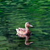Added 8/13/08-(# of 9)<br /> <br /> Another duck floating towards me and liked the perfect reflection of him in the calm water<br /> <br /> Bill