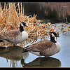 "<center><h2>""REFLECTIONS OF LOVE""</h2></center> This image was taken for a contest entry I submitted today with the theme being 'Feathered Friends' so I decided to post if for my POD as well. These Canadian Geese are all over New Jersey & this lovely pair decided to make their summer home around the corner from my house in a near by pond. Their pretty friendly when it comes to photographing them but don't get too close or they will charge while making an awful barking noise LOL. The lake was as smooth as silk with no wind so I decided to grab this shot with the reflections of the birds almost looking mirror like.   Taken with my: Nikon D300 Lens: Tamron 90mm Di 1:1 Macro used as a Prime SS: 1/50 AP: f/5.6 ISO 200 Shot hand held while sitting like an Indian using my knee & elbow contact as a tripod. Not much in the way of PP besides a basic unsharp mask application I do to all my photos and the canvas border, so pretty much straight out of the camera as is.  Hopefully these fine feathered friends will earn me another contest win, keep your fingers crossed.  <em><span style=""color:red"">*ATTN: If anyone of you are members of the www.PhotographyCorner.com would you could please take a minute to cast a vote for me (only registered members can vote - membership is free),</span></em> It's a great site of you don't belong and they run some really nice contest monthly & throughout the year. ""Voting doesn't begin until the 30th"" I believe so you have time to register and make 5 posts in order to qualify for voting. <span style=""color:yellow"">I will place a link RIGHT HERE to the voting page once it's posted.</span>  Thanks ~Bill~"