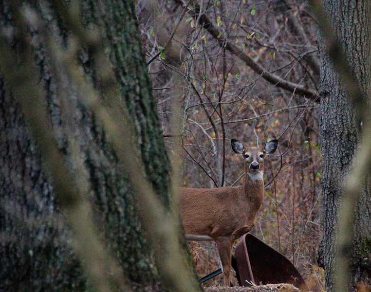 This beautiful Doe stood still just long enough for me to capture her checking me out, one frame and then she bolted into the woods