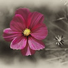 This lone flower deserved to be preserved on film using a selective color & sepia finish
