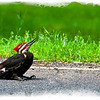 "<center><u><h2><span style=""color:red"">""PILEATED WOODPECKER""</span></center></u></h2> This Red Headed Wood Pecker <em>(Pileated Woodpecker-Thanks Mike Sullivan for proper name)</em> image was shot around the corner from my house while on my way to the store yesterday. He was sitting towards the edge of the street not moving much, long story short he must have been wounded by a passing car and was stunned in this position. Another woodpecker <em>(His mate I suppose -I Read ""A Pileated Woodpecker pair stays together on its territory all year round"".)</em> was jumping around him like crazy trying to get him to move to no avail then flying off when a car would come. I had no idea what to do but as an avid animal lover I was concerned for this little fellow. When I returned from the store he was gone, either he shock off his injuries and flew off on his own or made it into the woods to nurse it's wounds but either way mother mature took it's course. <em>This is the Largest Woodpecker in North America and has really cool markings and awesome to look at . . .</em>  Have a Great Weekend guys, with all this rain there's not much to do here but watch TV.  ~Bill~"