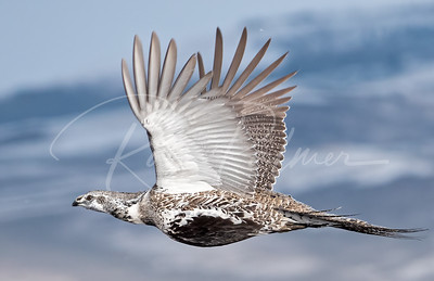 Adult male sage grouse
