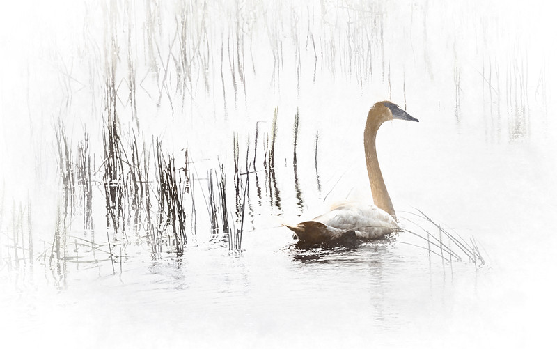 Swan in the Marsh I