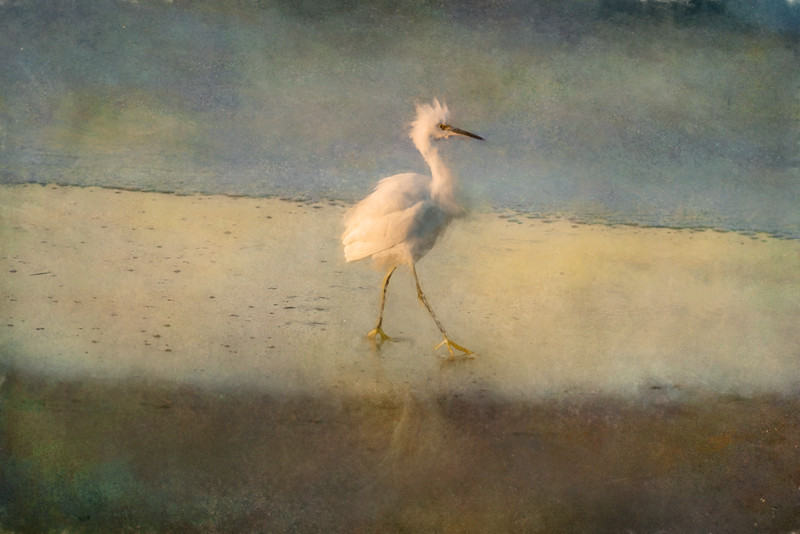 Snowy Egrets on the Beach II