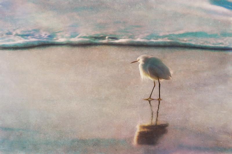 Snowy Egrets on the Beach III