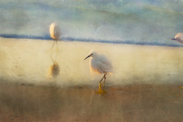 Snowy Egrets on the Beach I