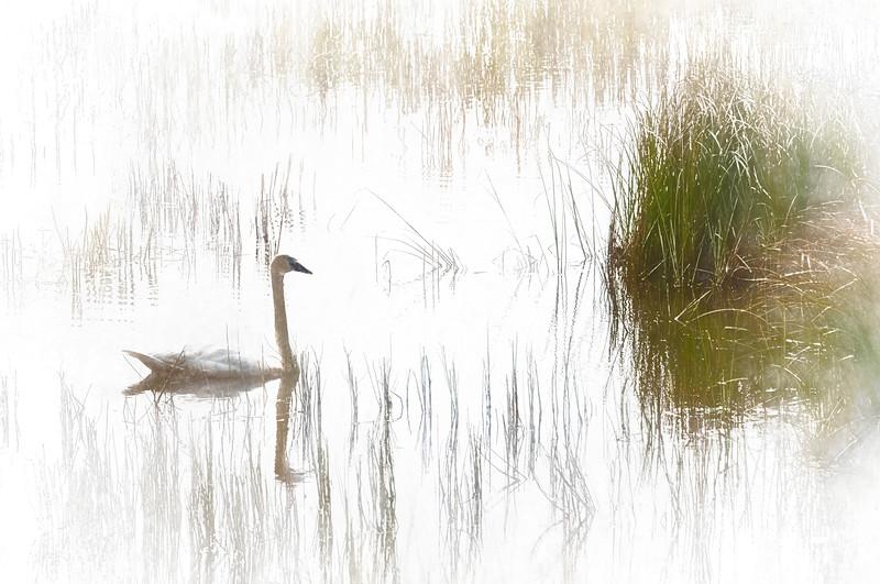 Swan in the Marsh II