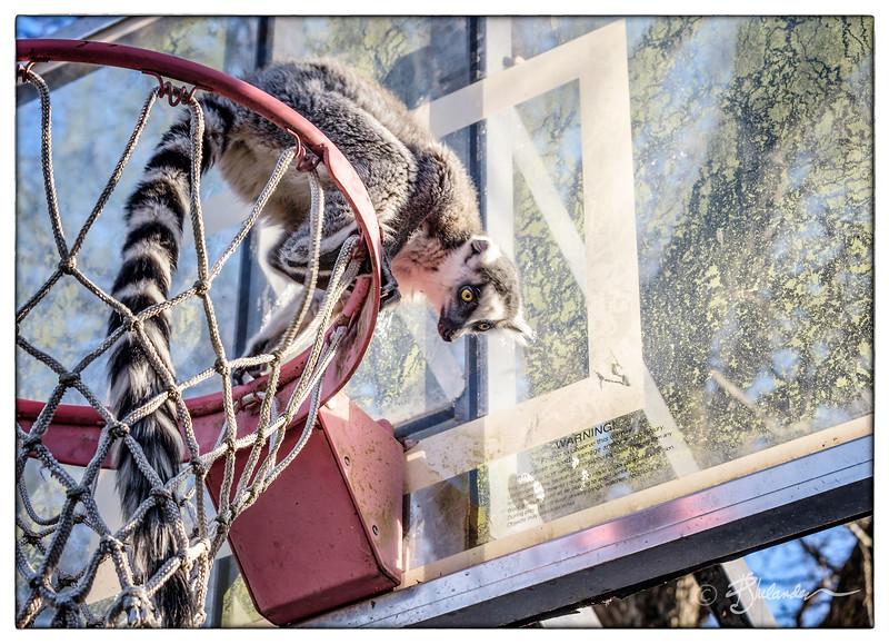 Lemur Rim Shot